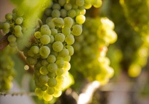 wineteam-grapes